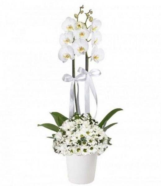 Beyaz Papatyalı Orkide