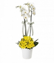 Sarı Papatyalı Orkide